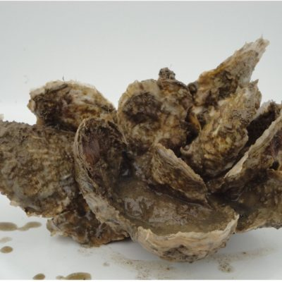 Cluster of oysters from spat-on-shell production ready to head to the shucking house.