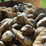 Seafood Saturday at DuCard Vineyards with Oysters, Crab Cakes, and Live Music!
