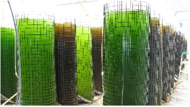 Mass culture of algae to be used as food.