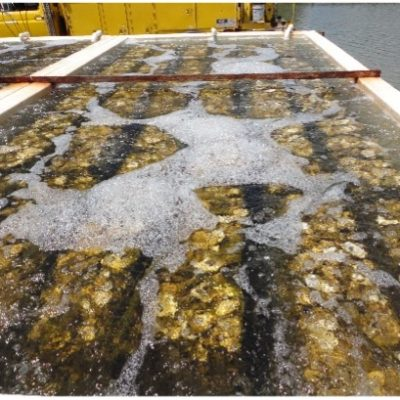 This is a setting tank used for the production of spat-on-shell oysters. Oyster shells are contained within the tank; ambient water is pumped into the tank and aerated. Eyed-larvae are introduced into the tank and allowed to settle onto the oyster shells. After a few days in the tank, ambient water is flowed through the tank to feed the newly set oysters before they are removed for planting.