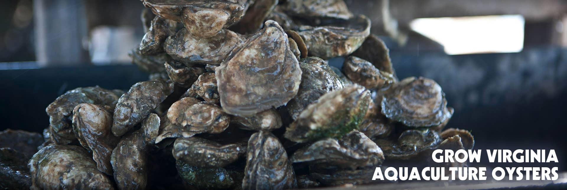 Grow Virginia Aquaculture Oysters